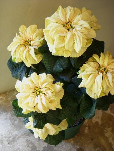 クリスマスを彩るお花たち。。。_a0229658_10533566.jpg