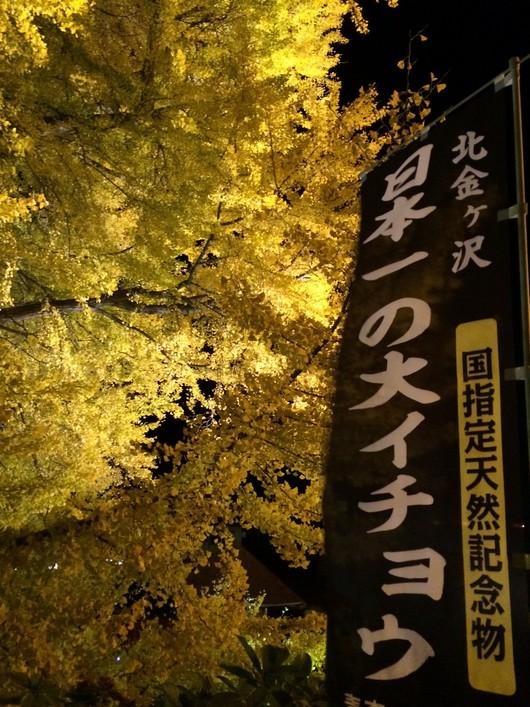 ◆ 日本一の大銀杏 ◆_c0078202_1550373.jpg
