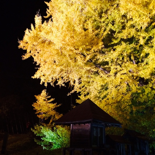 ◆ 日本一の大銀杏 ◆_c0078202_16353575.jpg
