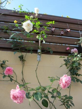 冬に咲く薔薇たちが美しい♪_a0243064_18195978.jpg