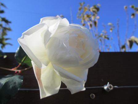 冬に咲く薔薇たちが美しい♪_a0243064_1823496.jpg