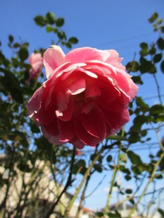 冬に咲く薔薇たちが美しい♪_a0243064_18235221.jpg