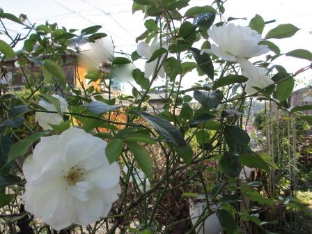 冬に咲く薔薇たちが美しい♪_a0243064_18244940.jpg