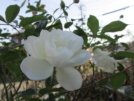 冬に咲く薔薇たちが美しい♪_a0243064_1825137.jpg
