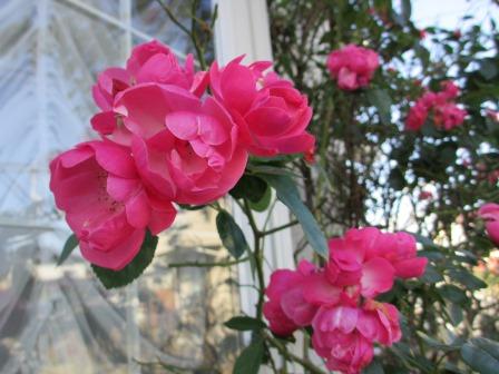 冬に咲く薔薇たちが美しい♪_a0243064_18251997.jpg