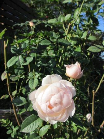 冬に咲く薔薇たちが美しい♪_a0243064_18264232.jpg