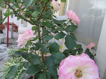 冬に咲く薔薇たちが美しい♪_a0243064_18274657.jpg