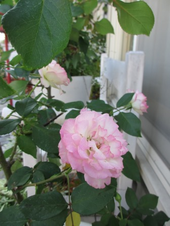 冬に咲く薔薇たちが美しい♪_a0243064_18275828.jpg