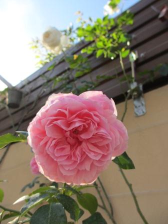 冬に咲く薔薇たちが美しい♪_a0243064_1895727.jpg