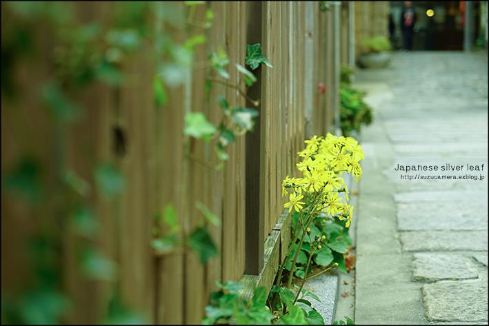 ツワブキの咲く路地_f0100215_23422870.jpg