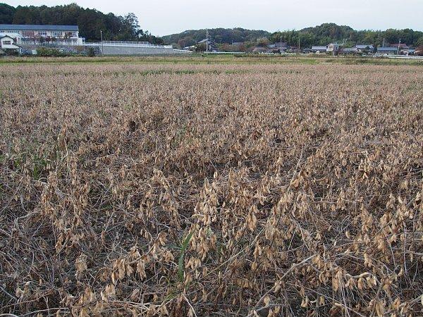 2014年11月23日 茶色になった大豆畑_b0341140_14292614.jpg