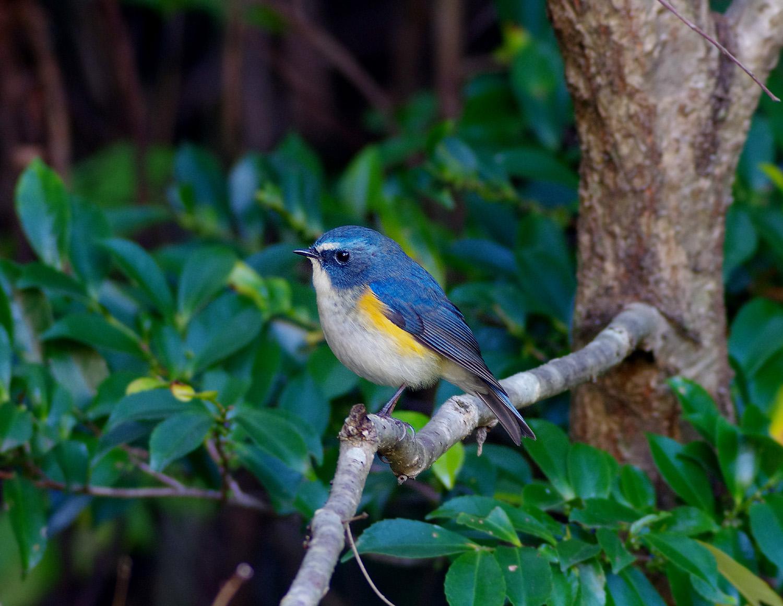 青い鳥 ルリビタキ_f0215767_16381815.jpg