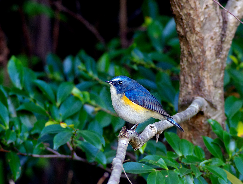 青い鳥 ルリビタキ_f0215767_16382930.jpg