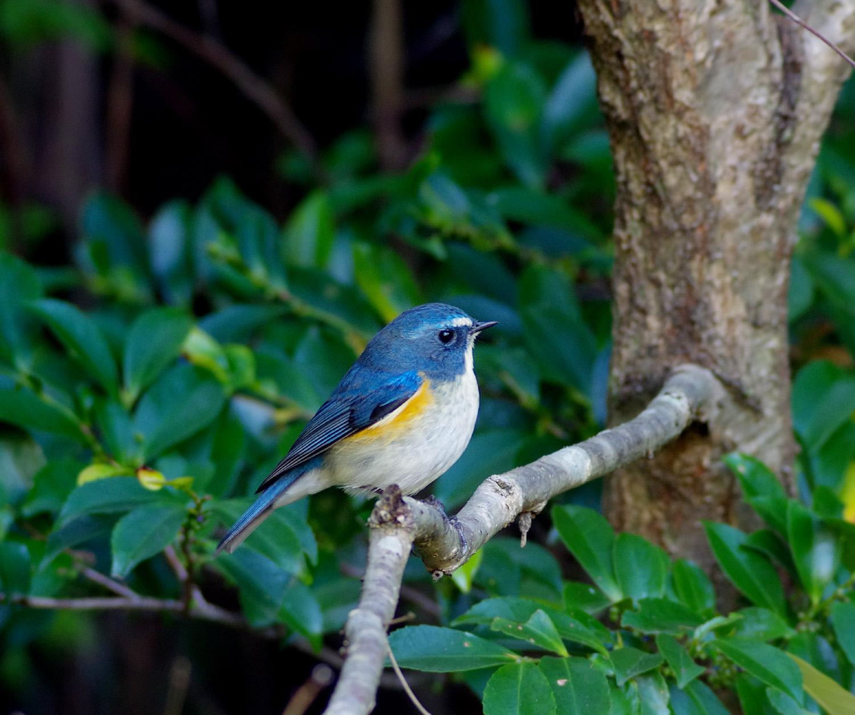 青い鳥 ルリビタキ_f0215767_16383779.jpg