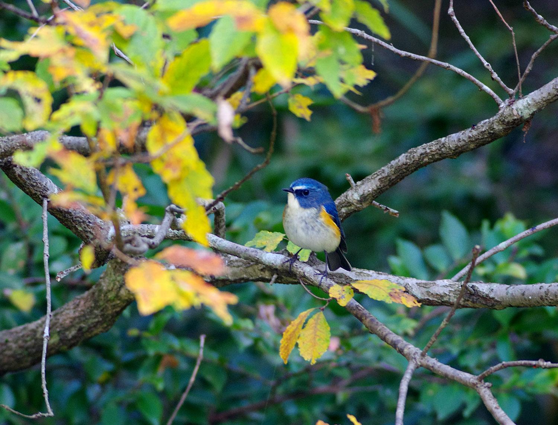 青い鳥 ルリビタキ_f0215767_1638432.jpg