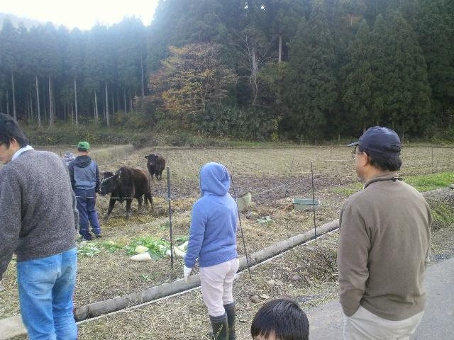 「鳥獣害対策に牛!!」_e0063268_2165351.jpg