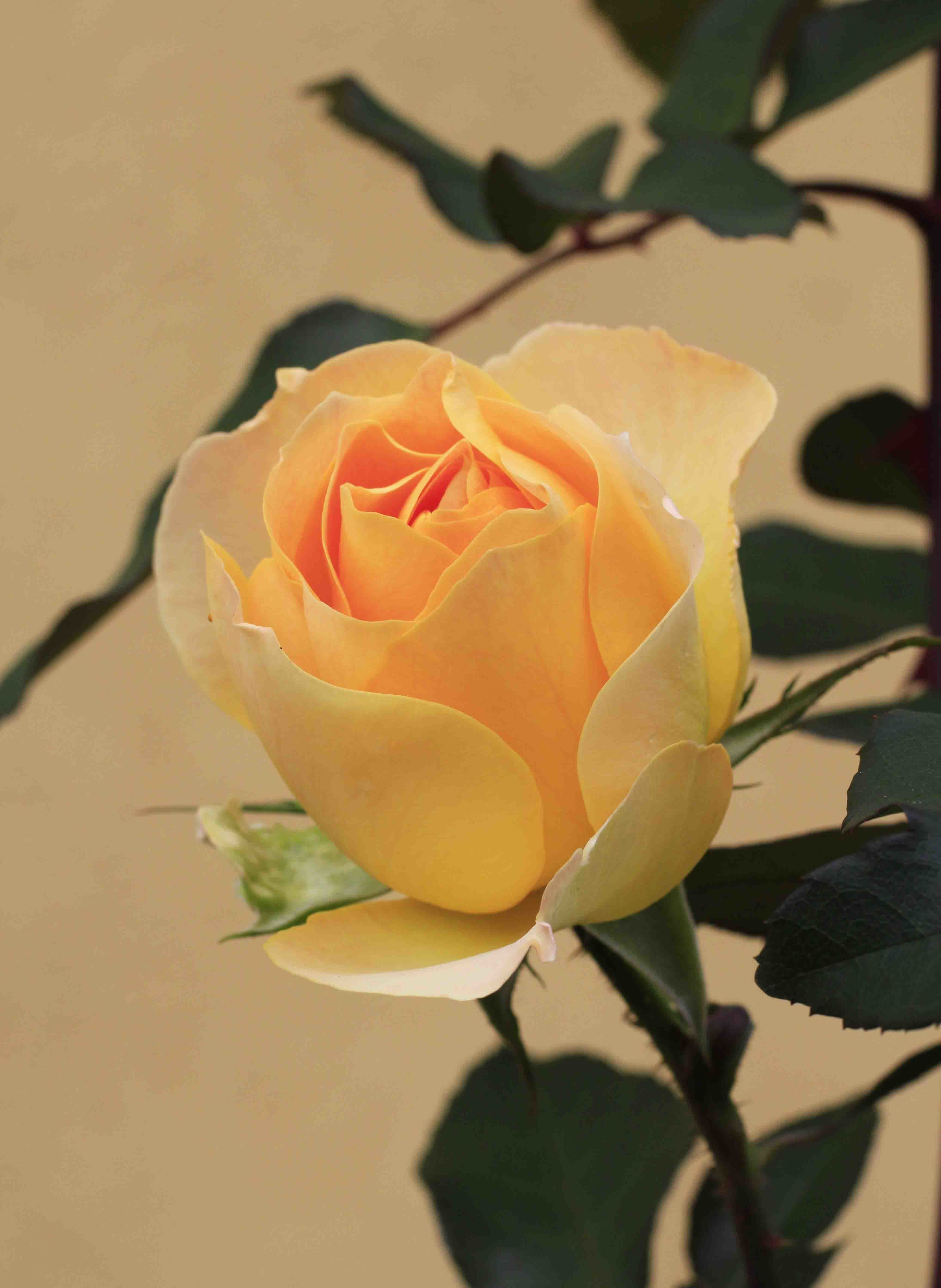 寝不足で眺めても、秋バラは素晴らしい_a0107574_15112838.jpg