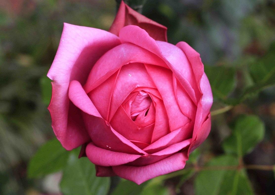 寝不足で眺めても、秋バラは素晴らしい_a0107574_15230352.jpg