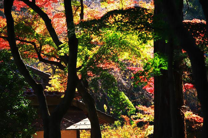 平林寺の紅葉1_a0263109_1471519.jpg