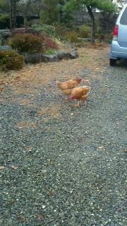 鶏と、じみじみ号_c0289116_2117356.jpg