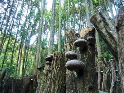 原木しいたけ 2年後の収穫へ向け、原木の伐採 その1_a0254656_17572120.jpg