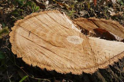 原木しいたけ 2年後の収穫へ向け、原木の伐採 その1_a0254656_19275856.jpg