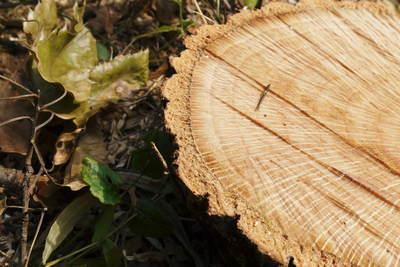原木しいたけ 2年後の収穫へ向け、原木の伐採 その1_a0254656_1931877.jpg