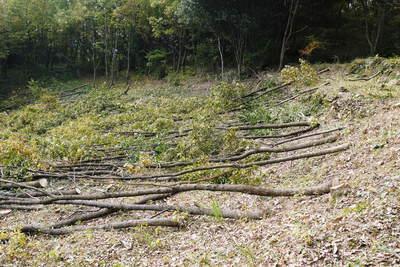 原木しいたけ 2年後の収穫へ向け、原木の伐採 その1_a0254656_1955065.jpg