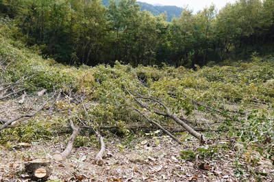 原木しいたけ 2年後の収穫へ向け、原木の伐採 その2_a0254656_16491175.jpg