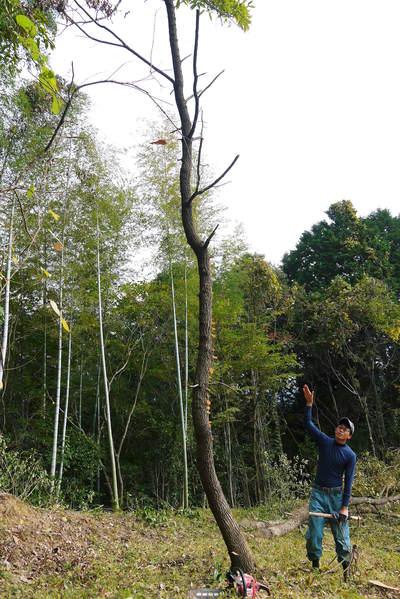 原木しいたけ 2年後の収穫へ向け、原木の伐採 その2_a0254656_1729679.jpg