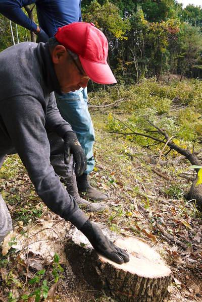 原木しいたけ 2年後の収穫へ向け、原木の伐採 その2_a0254656_1751459.jpg
