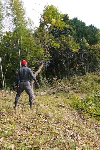 原木しいたけ 2年後の収穫へ向け、原木の伐採 その2_a0254656_18181019.jpg