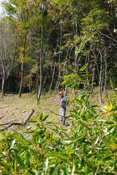 原木しいたけ 2年後の収穫へ向け、原木の伐採 その2_a0254656_1835179.jpg