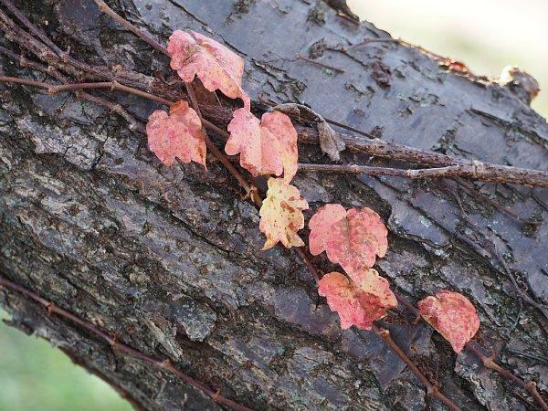 2014年11月27日 梅の木にからみつく蔦_b0341140_19271087.jpg