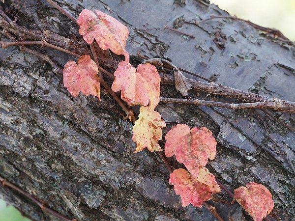 2014年11月27日 梅の木にからみつく蔦_b0341140_1927234.jpg