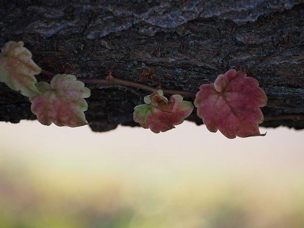 2014年11月27日 梅の木にからみつく蔦_b0341140_19273470.jpg