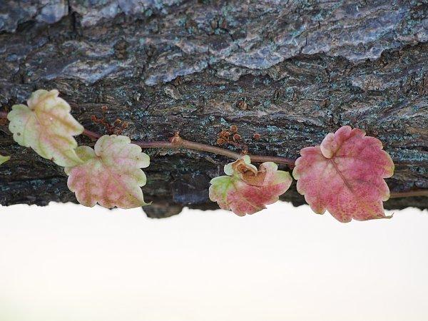 2014年11月27日 梅の木にからみつく蔦_b0341140_19274845.jpg