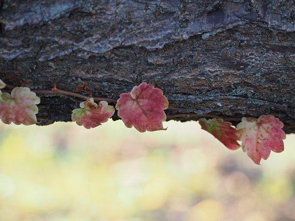 2014年11月27日 梅の木にからみつく蔦_b0341140_19275987.jpg