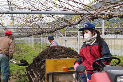 熊本ぶどう 社方園 貯蔵用分を蓄えさせるためのお礼肥え(基肥)散布作業 その1_a0254656_18471774.jpg