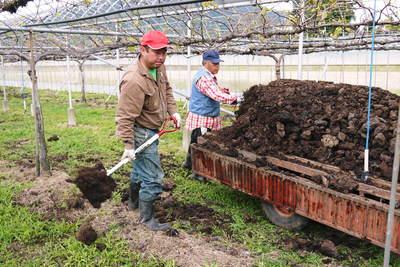 熊本ぶどう 社方園 貯蔵用分を蓄えさせるためのお礼肥え(基肥)散布作業 その1_a0254656_18521652.jpg