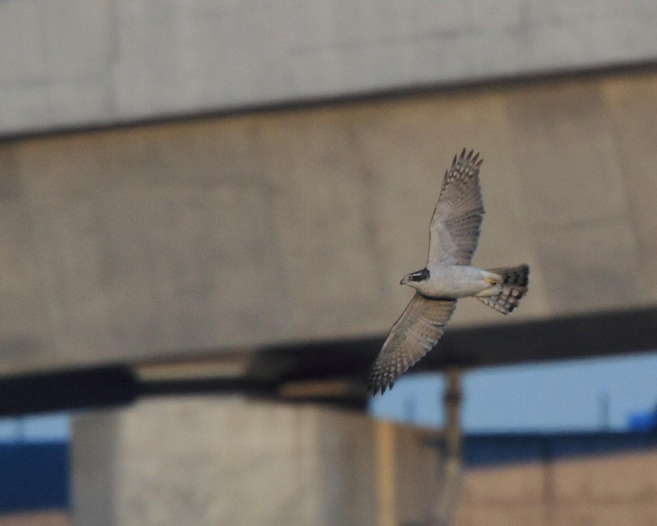 自宅そばの相模川にもオオタカ成鳥が入りました。_f0105570_20552719.jpg