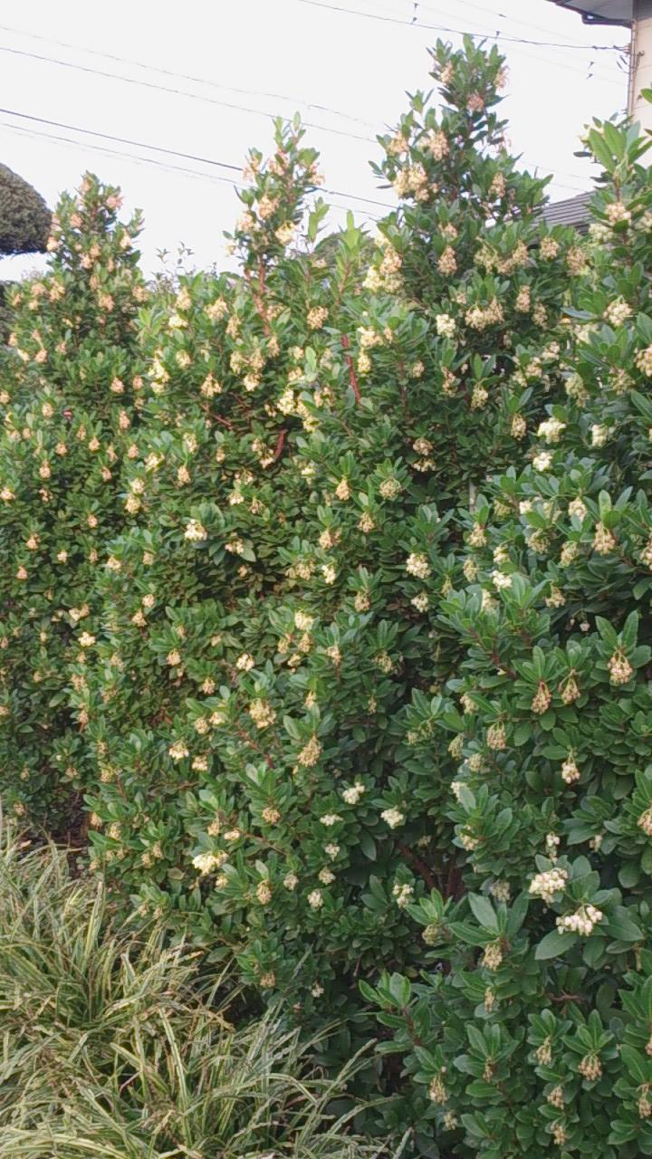 イチゴの木 白花_e0202111_21183130.jpg