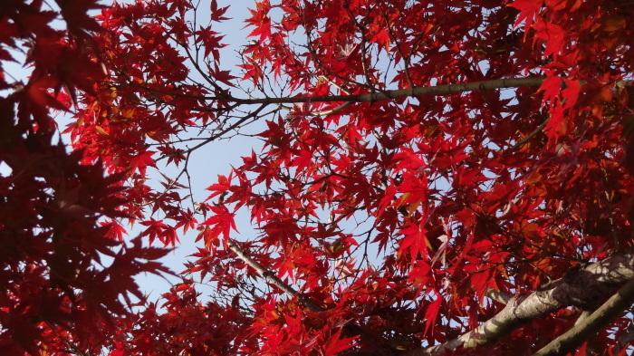 我が家の紅葉(昼間編)_b0290816_22353243.jpg