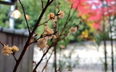 花だより 寒桜と紅葉_a0279848_13000089.jpg