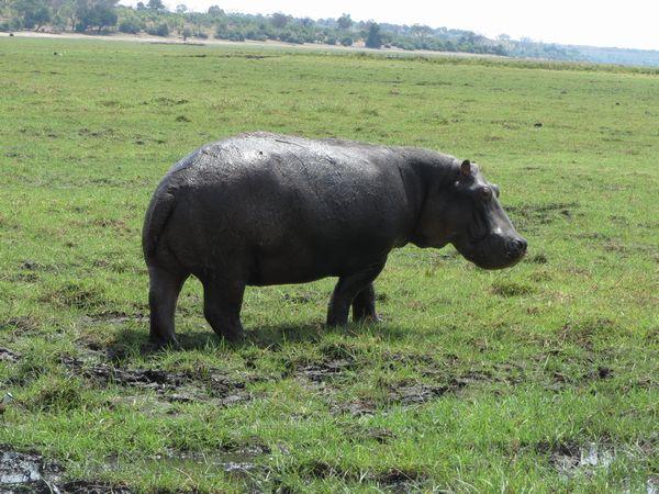 南アフリカ旅行⑦ チョべ国立公園_f0066555_12592457.jpg