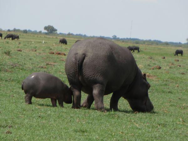 南アフリカ旅行⑦ チョべ国立公園_f0066555_13115895.jpg