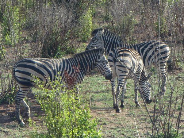 南アフリカ旅行⑦ チョべ国立公園_f0066555_1412598.jpg