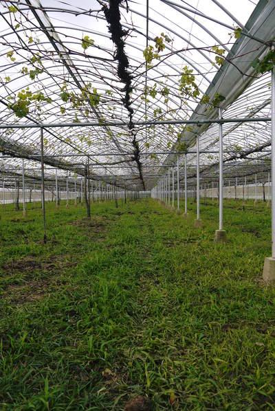熊本ぶどう 社方園 貯蔵用分を蓄えさせるためのお礼肥え(基肥)散布作業 その2_a0254656_1729264.jpg