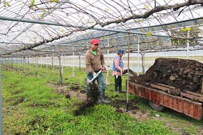 熊本ぶどう 社方園 貯蔵用分を蓄えさせるためのお礼肥え(基肥)散布作業 その2_a0254656_17433578.jpg