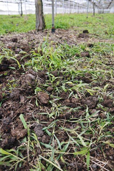 熊本ぶどう 社方園 貯蔵用分を蓄えさせるためのお礼肥え(基肥)散布作業 その2_a0254656_17472412.jpg